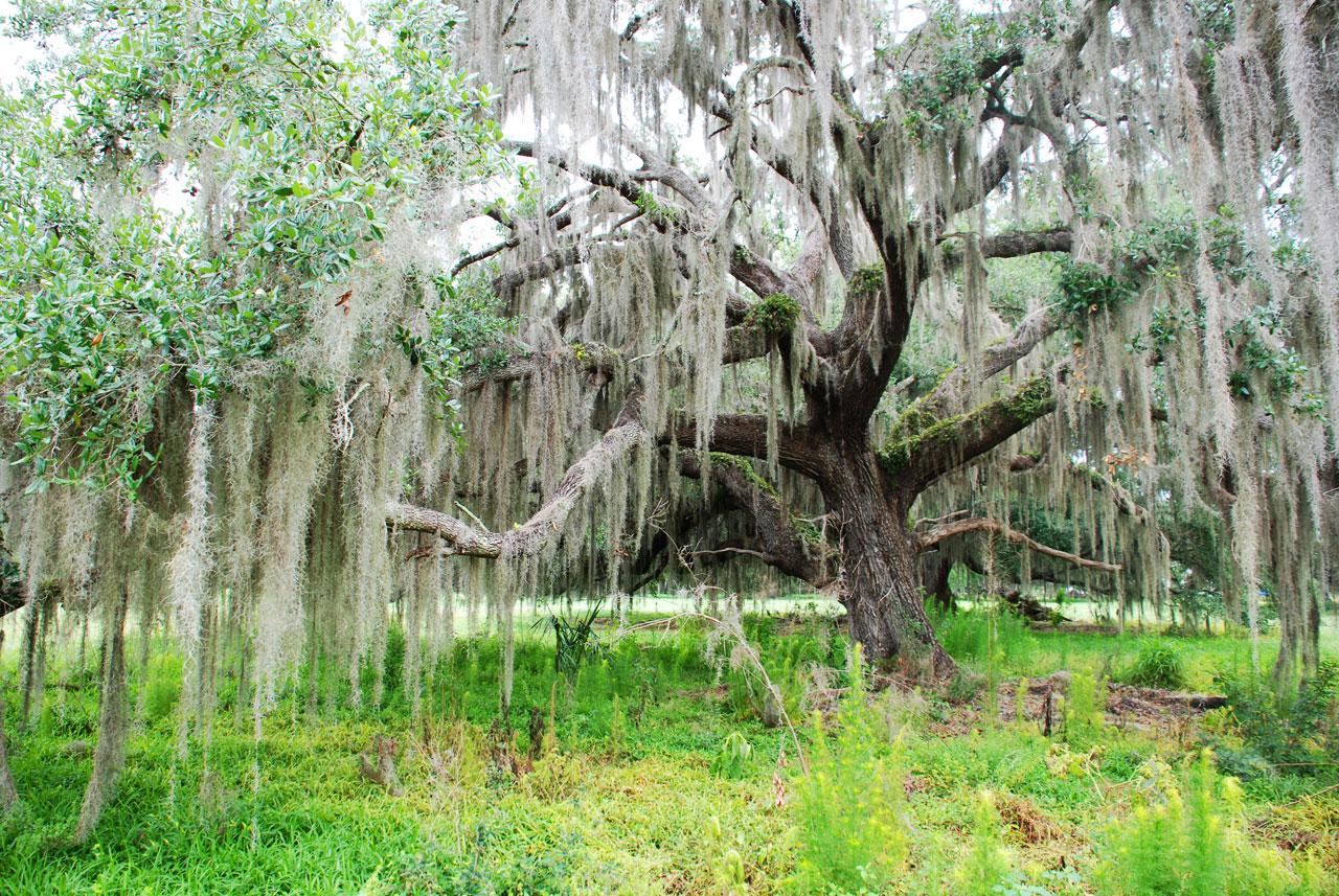 tree-spanish-moss.jpg